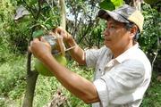 Lo khan hiếm trái cây độc lạ, nhà vườn chạy nước rút phục vụ Tết