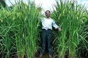 Trung Quốc sản xuất giống lúa khổng lồ cao như cây mía, năng sất 15 tấn/ha