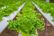 Chàng kỹ sư bỏ lương cao để khởi nghiệp trồng rau thủy canh, lãi bạc triệu mỗi ngày