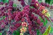 Cà phê chòng chành giá tiêu lao dốc về mức thấp kỷ lục