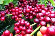 Cà phê nghe ngóng tin xa, giá hồ tiêu lao dốc tuột mốc 70