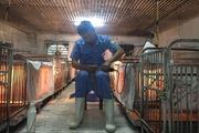 Hàng chục năm đào than, nghỉ hưu lại thành tỷ phú nhờ chăn nuôi lợn