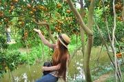 Ngắm vườn quýt hồng trĩu quả của nông dân Đồng Tháp