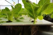Độc đáo phương pháp trồng rau trong không khí ở phố núi, Đà Lạt