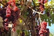 Khu vườn sai trĩu cây hoa trái quê hương của người mẹ Việt ở Mỹ