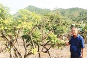 Nông dân mách nước cách phục hồi vườn cây ăn quả sau bão