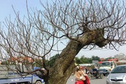 Choáng ngợp với những cây đào khủng giá trên 100 triệu ở Thanh Hóa