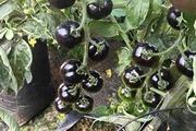 """""""Bí kíp"""" trồng cà chua đen cho quả to và bóng đẹp"""