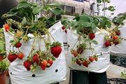 Vườn dâu Tây chín đỏ rực một góc 'nông trại' sân thượng rộng 100 m2