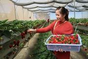 Vườn dâu tây thủy canh sai trĩu quả tại Đà Lạt hút khách du lịch