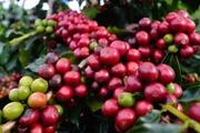 Cà phê rơi rụng, hồ tiêu thất thủ vì mất mùa, rớt giá