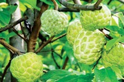 Kỹ thuật trồng và chăm sóc cây Na Thái cho trái ngọt, năng suất cao