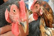Kỳ lạ con gà pê đê có biệt tài gáy được 2 giọng trống, mái