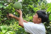 Làm giàu ở nông thôn: Thu tiền tỷ từ 3ha bưởi da xanh trên đất phèn