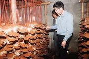 Chuyển giao công nghệ nuôi trồng nấm dược liệu cho người dân