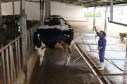 Trang trại nuôi bò sữa Mộc Châu không mùi hôi và êm ái tiếng nhạc