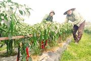 Kim Bôi mở rộng liên kết sản xuất và tiêu thụ hàng nông sản