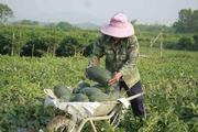 Hơn 1.130 tấn dưa hấu hắc mỹ nhân ứ đọng,nông dân bán tháo