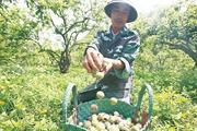 Thủ phủ vùng mận mất mùa nghiêm trọng, dân Mộc Châu buồn thiu