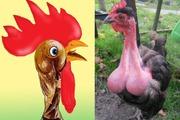 Chuyện gà trống Pháp và gà trống Fap
