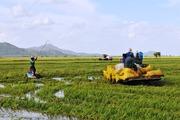 Nước lũ làm vỡ đê bao, nhấn chìm hàng trăm ha lúa