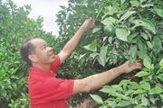 Con đường thành tỷ phú cam đường Canh của hộ nông dân nghèo