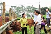 Thụ tinh nhân tạo, vỗ béo nâng cao chất lượng đàn bò thịt