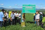 Mô hình trồng đậu phộng dọc sông Cái, lãi gấp 2 lần trồng rau màu khác