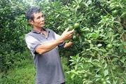 Người tiên phong trồng quýt sạch ở Phú Lý