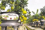 Ngắm vườn bưởi đại gia chưng Tết độc đáo ở Hưng Yên