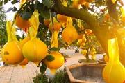 Những loại cây cảnh, hoa trái 'độc, lạ' hấp dẫn người mua trong dịp Tết này