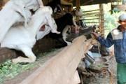 Chật vật chuyển nghề thời dịch tả: Đánh cược vào giá thịt cuối năm