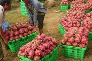 Xuất khẩu nông sản sang Trung Quốc: Doanh nghiệp chậm thay đổi