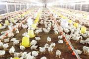 Giá gà giảm sâu, thủ phạm có phải thịt gà nhập khẩu?