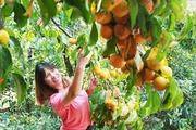 Hồng ăn quả 'sống lại' nhờ công nghệ sấy gió