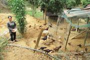 """Vốn Agribank hỗ trợ nông dân Phước Sơn """"đuổi bỏ"""" cái đói, cái nghèo"""