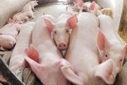 Giá thịt lợn tăng liên tục, phá đỉnh ngày cuối tuần