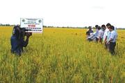 Chuyển cấy máy, người trồng lúa tăng lợi nhuận