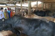 Quảng Ngãi: Hiệu quả từ mô hình nuôi bò lai thâm canh