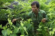 Người dân Lạng Sơn 'thuần hoá' rau rừng thành đặc sản