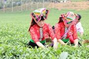 Chè Phổng Lái – hương vị tinh túy của đất trời Tây Bắc