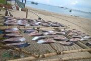 Băn khoăn đặc sản cá thu một nắng Đồ Sơn