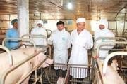 Tìm giải pháp bình ổn thị trường thịt lợn