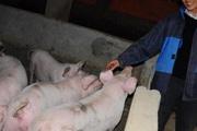Giá heo hơi hôm nay 3/12: Ba miền tăng nhẹ, lợn nhỡ được săn lùng