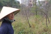 Người dân cay đắng nhìn hàng nghìn gốc đào bị chết khô khi Tết sắp về