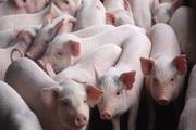 Giá lợn hơi ở Hà Nội sắp trở lại mức 50-60.000 đồng/kg?