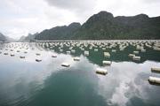 Cận cảnh quy trình nuôi hàu ngon nhất Việt Nam