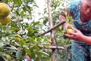 Đồng Nai: Nông dân méo mặt vì cam quýt ê hề, giá rớt thê thảm