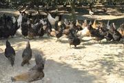 Nuôi loài gà xương đen xì, thu 400-500 triệu đồng mỗi năm