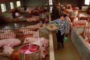 Trang trại chăn nuôi ở Hà Nội: Tăng quy mô, chất lượng
